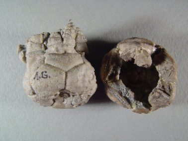 Ethelocrinus sp. cf. magister