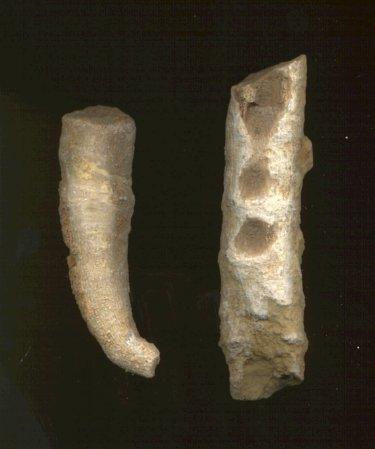 Pseudozaphrentoides verticillatus