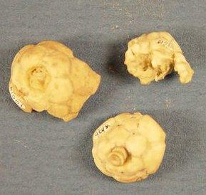Microcaracrinus twenhofeli