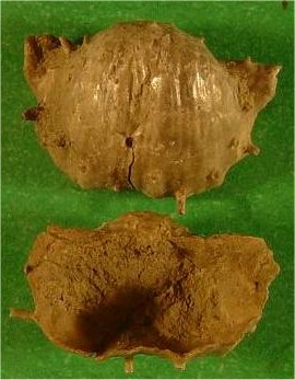 Hystriculina hystricula