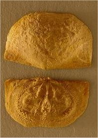 Neochonetes granulifer