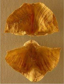 Neospirifer sp. cf. N. kansasensis