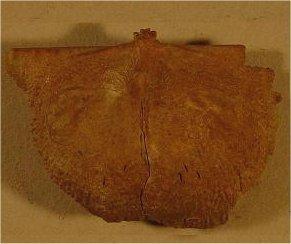 Reticulatia huecoensis