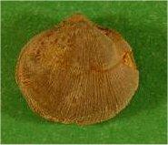 Rhipidomella carbonaria