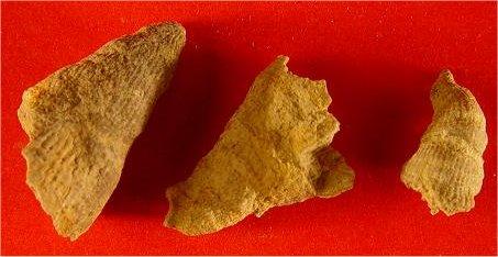 Lophamplexus sp. cf. L. eliasi