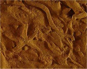 Ichnogenus Asteriacites