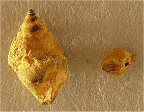 Baylea sp. cf. B. perhumerosa