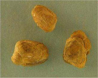 Nuculopsis?