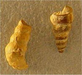 Palaeostylys (Pseudozygopleura) sp. cf. P. (Pseudozygopleura) schucherti