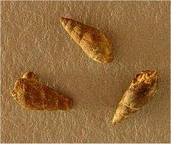 Palaeostylus?