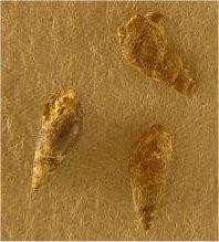 Soleniscus sp. cf. S. typicus