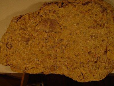 Slab of Fossiliferous Limestone