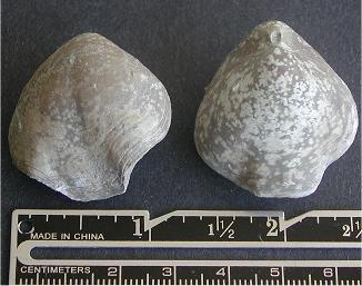 Composita trilobata
