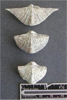 Neospirifer sp.