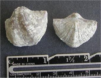 Neospirifer sp. cf. N. latus