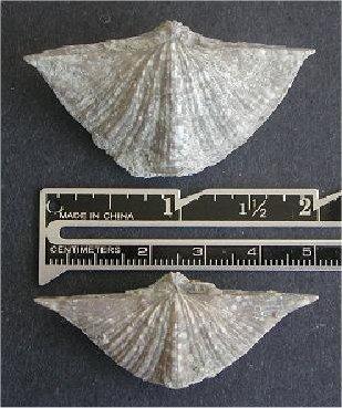 Neospirifer triplicatus