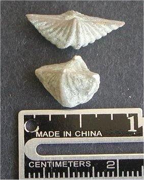 Punctospirifer kentuckyensis