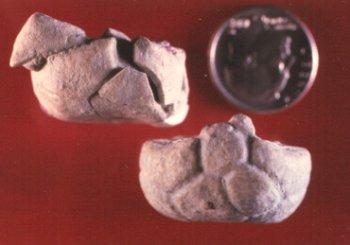 Aglaocrinus comactus