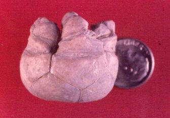 Parulocrinus blairi