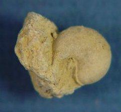 Anomphalus umbilicatus