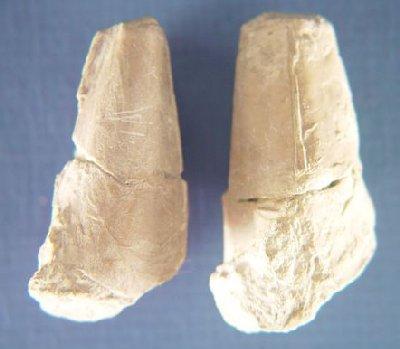 Razor Clam Aviculopinna sp.