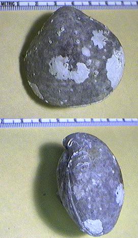 Terebratuloid Brachiopods (2 views), <i>Neothyris lenteicularis</i>