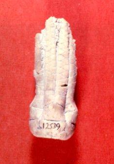 Delocrinus vulgatus