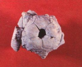 Graffhamicrinus magnificus
