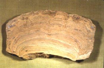 Stromatolites from the Ozawkie Limestone member, Deer Creek Formation, Cass County