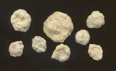 Oncolites from the Haynies Limestone bed, Ervine Creek Limestone member, Deer Creek formation, Cass County