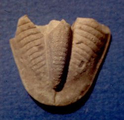 Ameura missouriensis w/bite marks