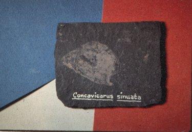 Concavicarids