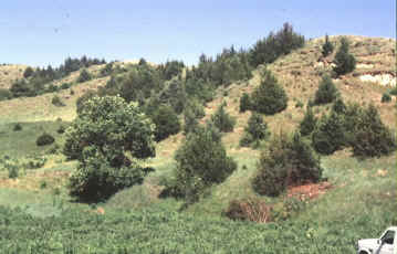 Encroachment of Eastern Red Cedar trees into grassland areas