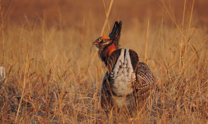 Greater Prairie-Chicken Nesting Not Affected Much by Wind Turbines