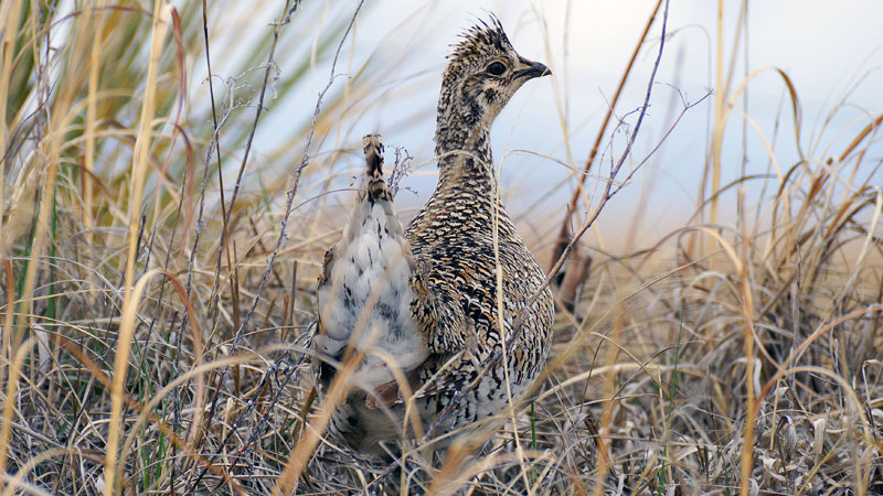 Sharp-tailed grouse lose nesting space under projected climate conditions