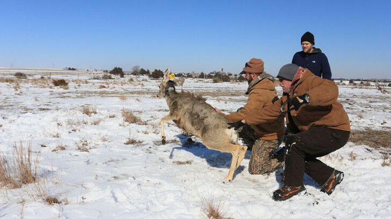 Sixty mule deer does are carrying GPS monitoring devices for a new research study designed to aid in the management of mule deer populations in high and low density areas of Nebraska.