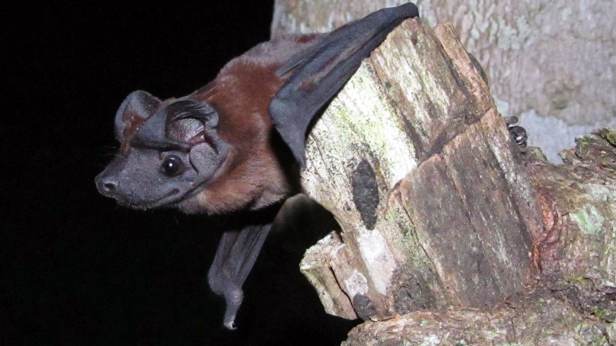 A new dog-faced bat species discovered in Panama has been named after Patricia Freeman, who devoted her career to studying bats. Freeman is a professor emeritus at the University of Nebraska-Lincoln School of Natural Resources.