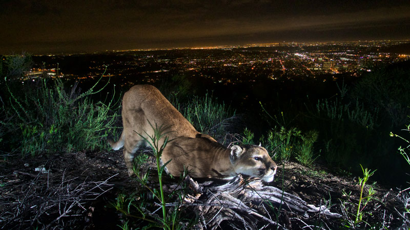Two isolated mountain lion populations in southern California's Santa Ana and Santa Monica Mountains are at risk of local extinction, perhaps as soon as within 50 years, according to a study published in the journal <em>Ecological Applications</em>.