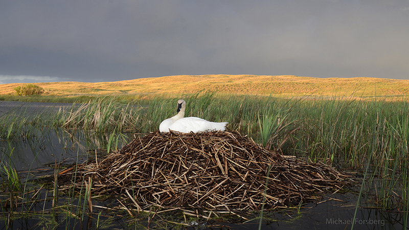 """Return of the Swan"" features photos and an essay by PBT co-founder and photographer Michael Forsberg, and introduces readers and viewers to researchers who have worked to protect trumpeter swans and their habitat, as well as ranchers who live alongside these birds"