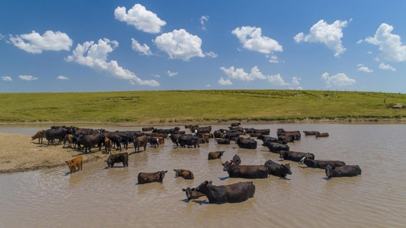 Mesonet tools help mitigate heat stress in cattle