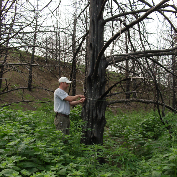 PhD student Kent Fricke measuring the diameter of a burned eastern redcedar following a 2012 wildfire in Boyd County, Nebraska.